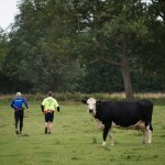 A cow watching the runners